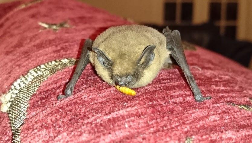 Bat feeding on sofa
