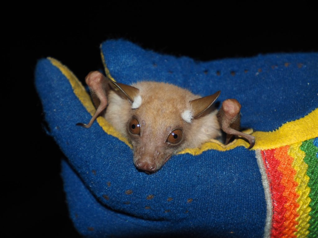 Small fruit bat