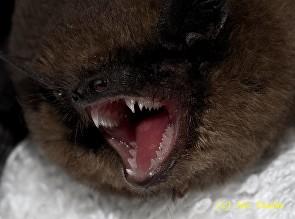 Bat teeth, like dog teeth