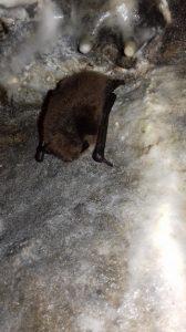 Bat in hibernation