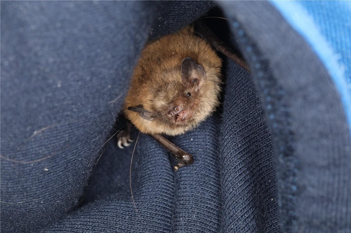 Bat in hoodie