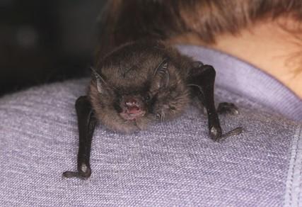 Daubenton's bat with mouth open